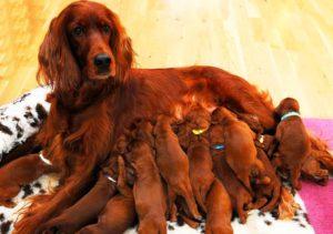 Чем больше щенков, тем быстрее их созревание