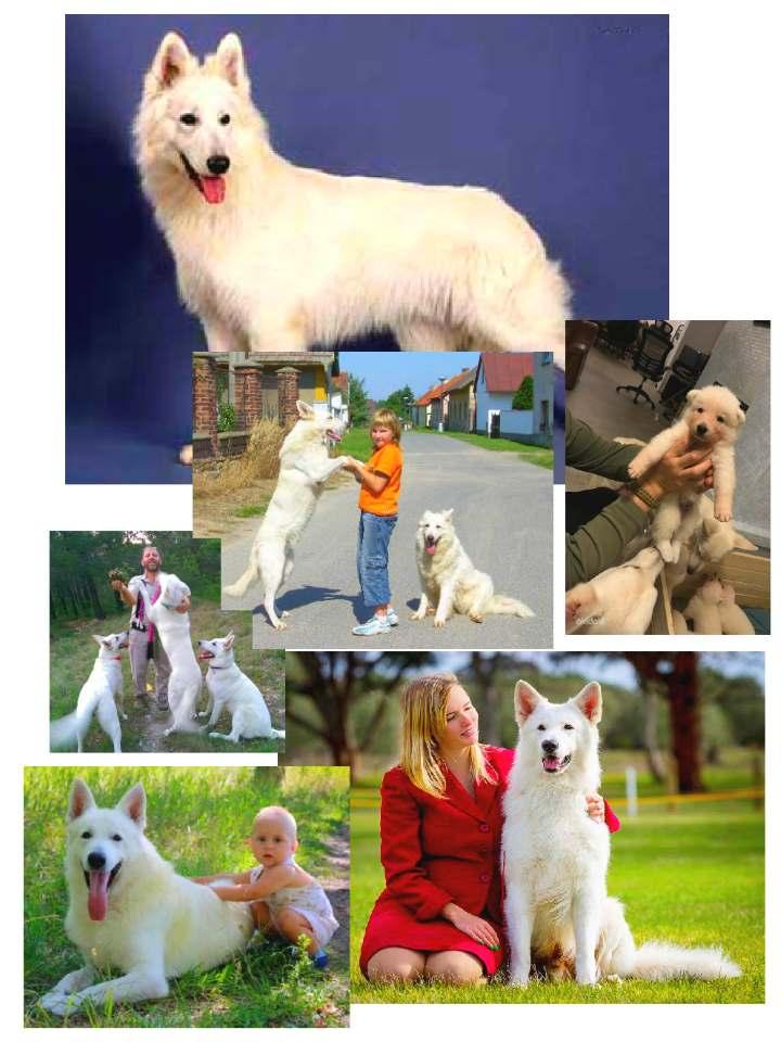 Белая швейцарская овчарка в разных семьях