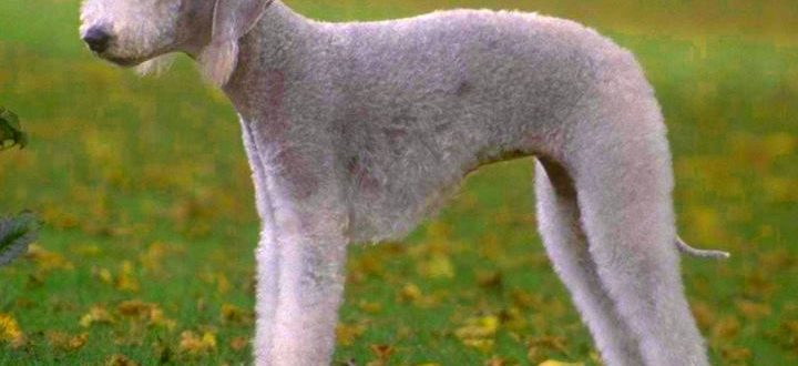 Собака породы бедлингтон терьер