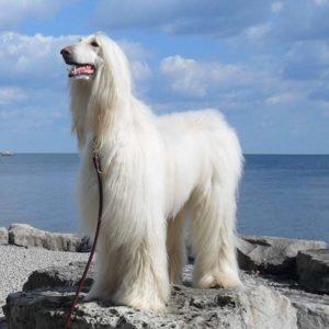 Белый мохнатый пес