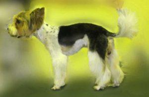 Собака породы бивер йорк