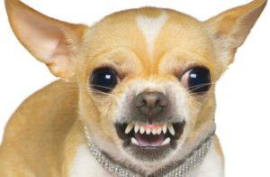 Зубы собаки чихуахуа