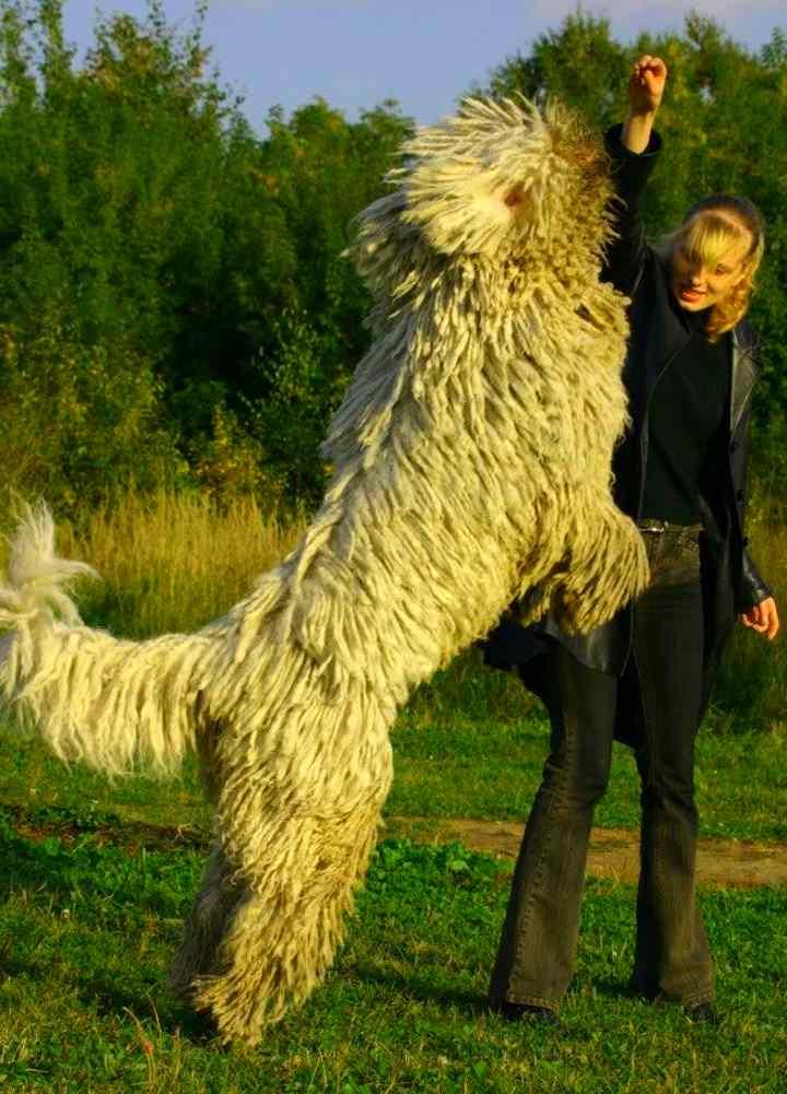 Девушка дрессирует венгерскую овчарку