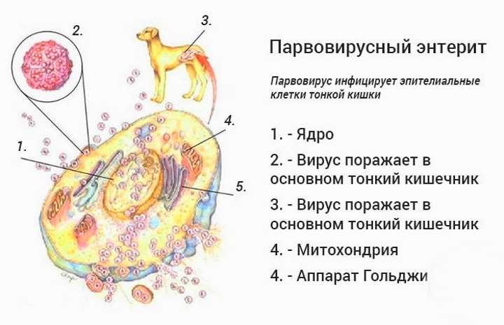 Схема действия вируса при энтерите