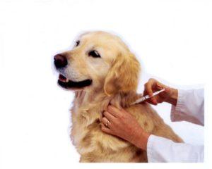 Введение лекарства под кожу собаке