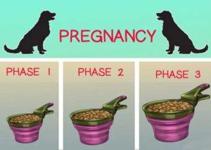 Объем рациона беременной суки