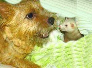 Крыска и норвич терьер