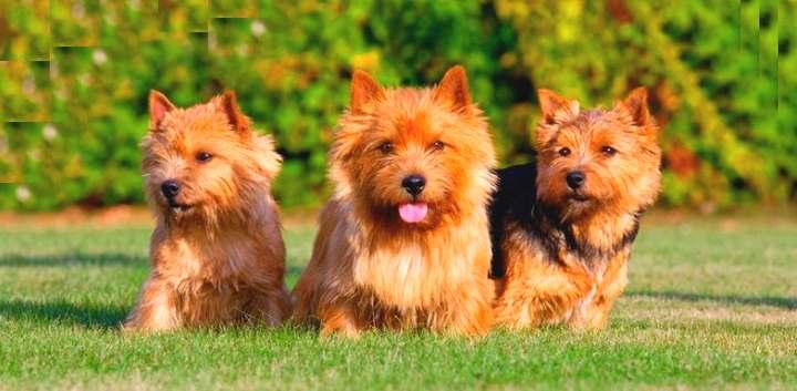 Окраски собак норвич терьеров