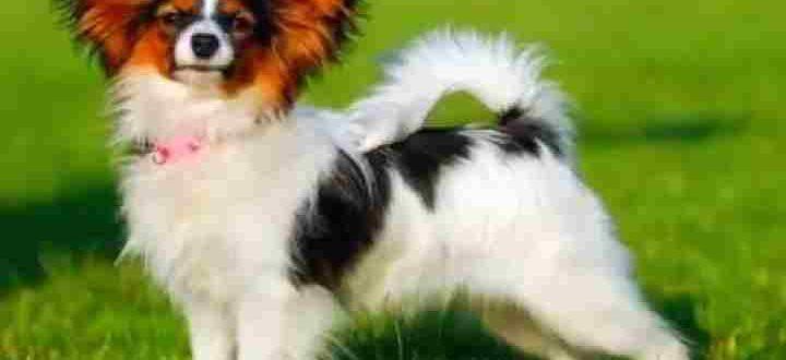 Собака породы папильон в стойке