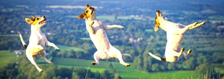 Рассел терьер в прыжке