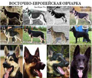 Фото собак породы восточно европейская овчарка