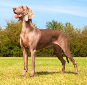 Собака породы веймаранер