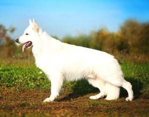 Белая швейцарская овчарка_ экстерьер