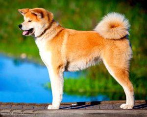 Собака породы акита ину