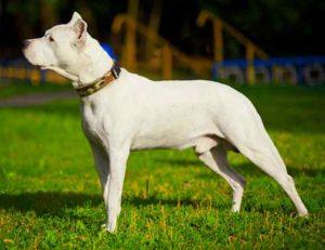 Собака породы аргентинский дог