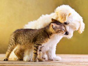 Котенок рядом с бишоном
