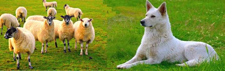 Овечки и белая собака