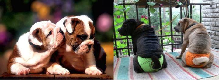 Собака в период течки носит трусы