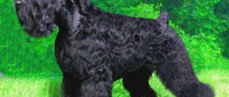Собака породы черный терьер