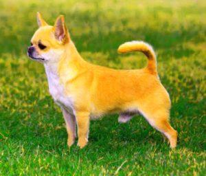 Собака породы чихуахуа
