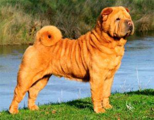 Внешний вид собаки шарпей