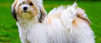Собака породы гаванский бишон