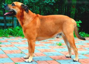 Собака породы ка де бо