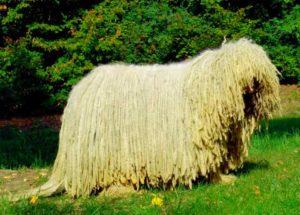 Собака породы комондор