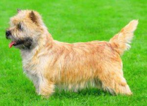 Собака породы норвич терьер