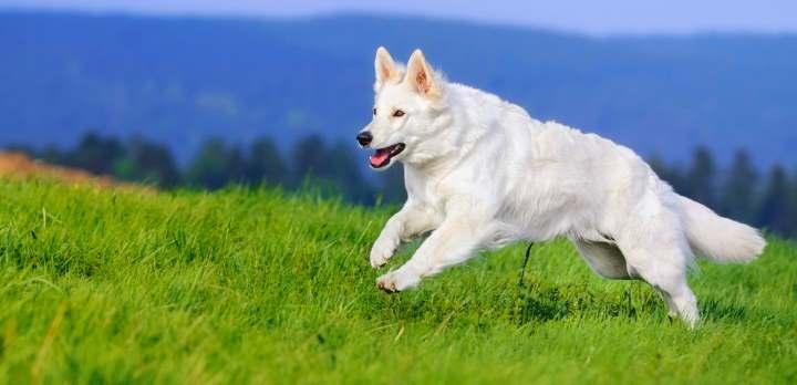 Белая овчарка на лугу