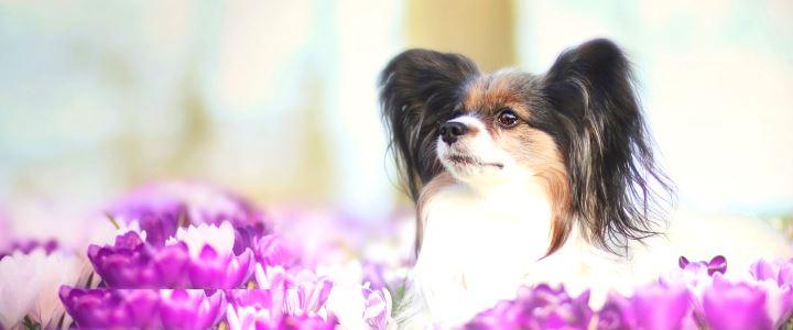 Фиолетовые цветы и собака