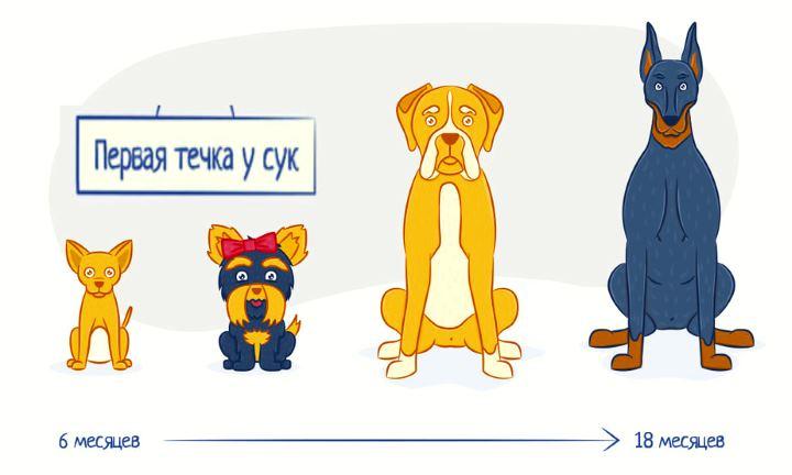 течка у собак продолжительность