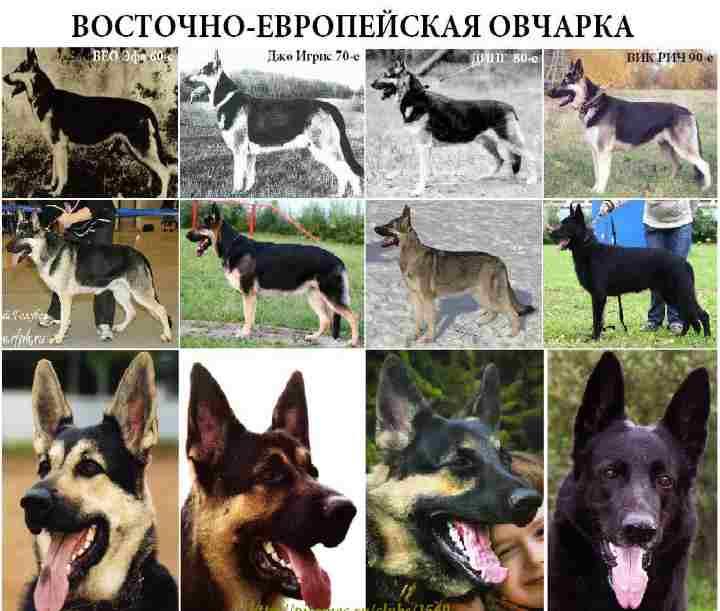 стандарт восточно европейской овчарки