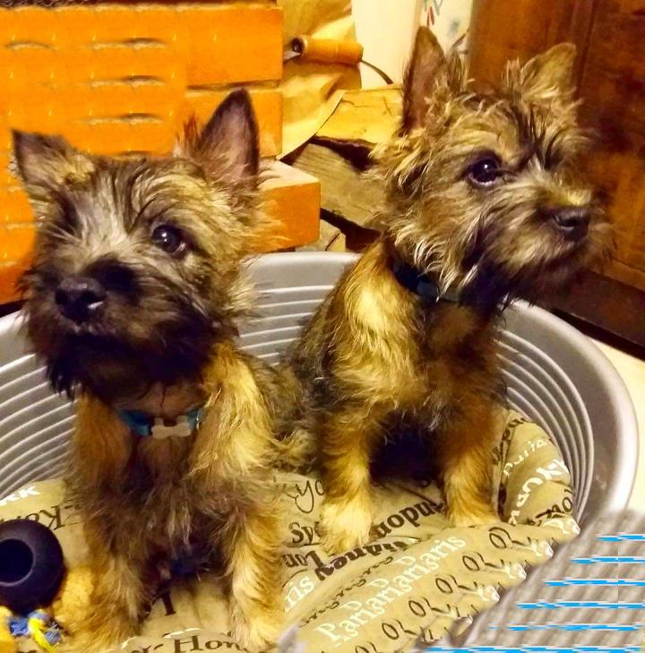 Два щенка керн терьера