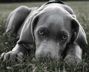 Черно белое фото собаки веймаранер