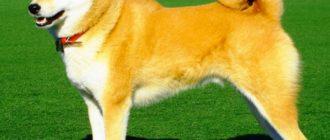 Собака породы сибу ину