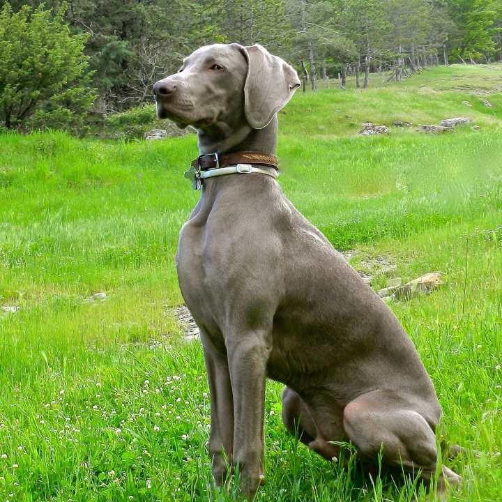 Собака породы веймаранер на лугу