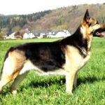Овчарка восточно европейская