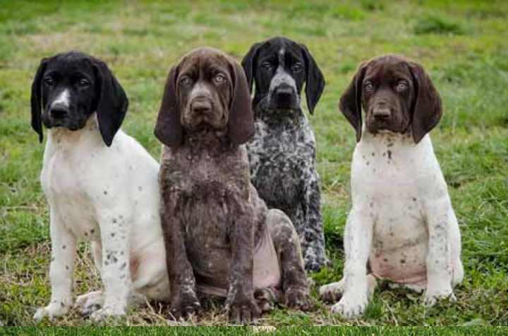 4 щенка для охоты