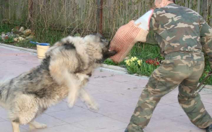 Окрас Кавказских овчарок также очень разнообразен