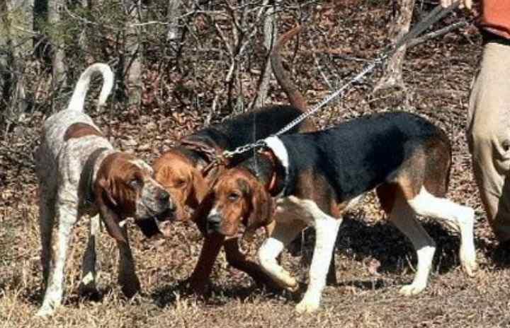 загонные таланты у собак передаются по наследству