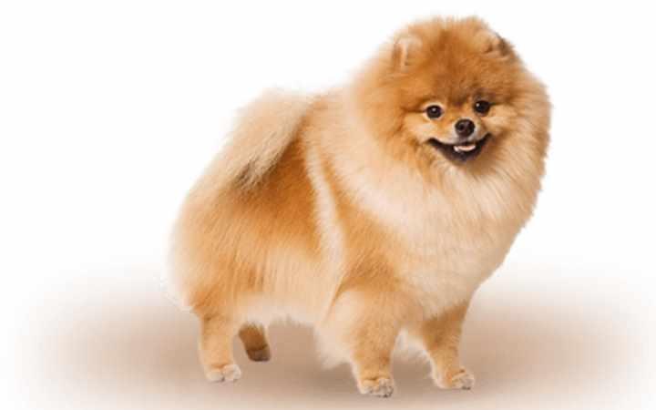 Пушистые шпицы являются одной из популярных мелких пород собак
