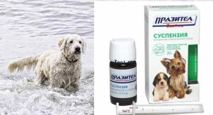После приема лекарств питомец может контактировать с другими животными и людьми