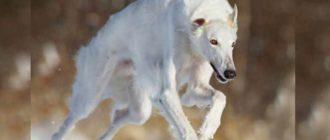 Русская гончая – это безмерно преданный пес