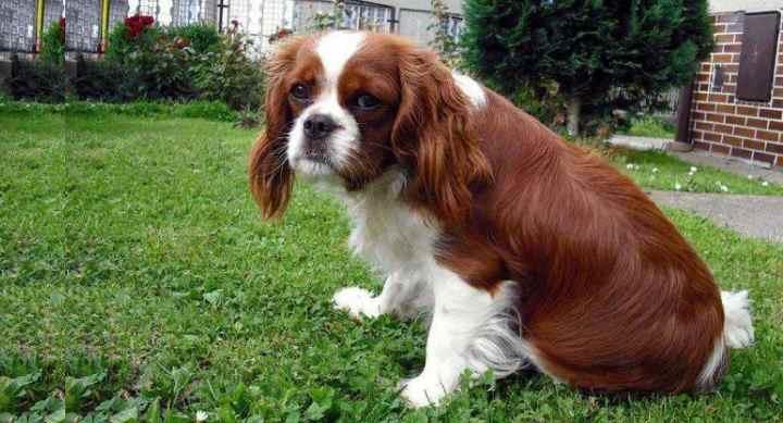 Кетоконазол (Ketoconazole). Рекомендован для собак, у которых болезнь спровоцирована грибком кожи