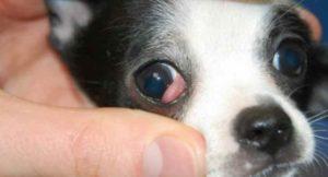 Болезни глаз у собак относятся к серьезным заболеваниям и влекут за собой не менее серьезные последствия: слепоту.