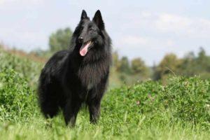 вид пастушьих собачек, делящийся также: грюнендаль, лакенуа, малинуа и тервюрен