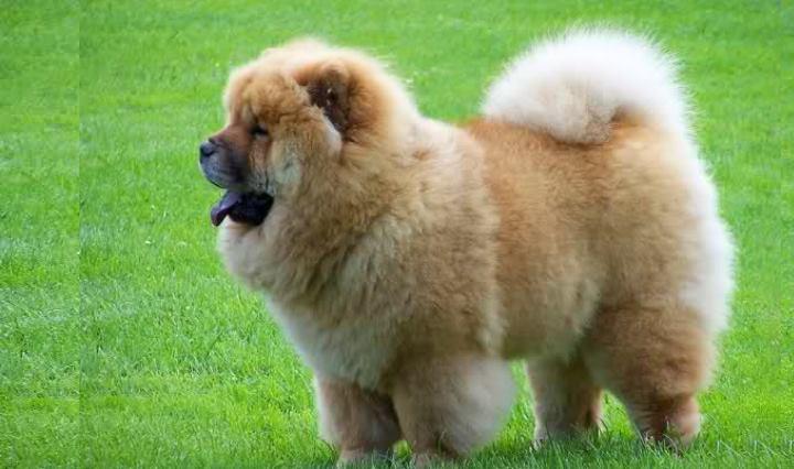 Первоначально чау-чау может производить впечатление не очень смышленой собаки