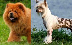 Собака китайская — это породы, созданные под чутким руководством