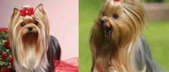 Корпус собаки осанистый, крепкий, гармоничный и элегантный